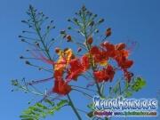Acacia Flower Caesalpinia Pulcherrima