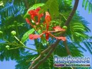 Acacia Roja Delonix Regia