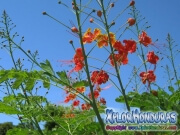 Acacia Roja Flores