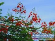 Acacia Tree Caesalpinia Pulcherrima