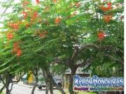 Caesalpinia Pulcherrima Flamboyant Tree