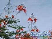Flamboyan arbol Caesalpinia Pulcherrima
