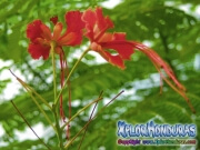 Flamboyan Poinciana