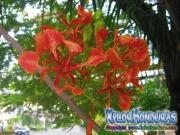 Flamboyan Rojo Flor