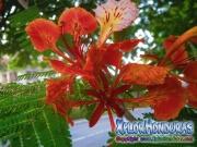 Flor Acacia Roja