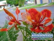 Flor de Acacia Caesalpinia Pulcherrima