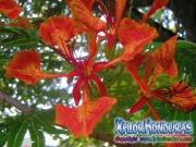 Flor de Acacia roja