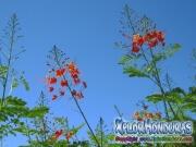 Flor de Chivato Acacia
