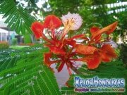 Flor de Flamboyan Caesalpinia Pulcherrima