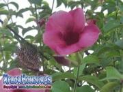 Allamanda Cathartica Cherries Jubilee