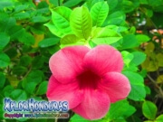Allamanda Cathartica Cherry Flower
