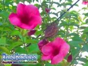 Allamanda Cathartica Cherry Jubilee