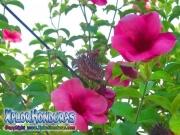 Allamanda Cathartica Cherry