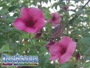 Allamanda Cherries Jubilee