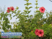 Flor Allamanda Cathartica Cherry