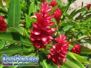Alpinia Purpurata o Ginger roja, Alpinia, jengibre, red ginger