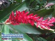 Alpinia Purpurata roja, 0strich Plume, Pink Cone Ginger, Alpinia, jengibre, Red Ginger