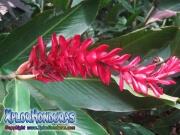 Alpinia Purpurata roja, 0strich Plume, Pink Cone Ginger, Alpinia, jengibre, Red Ginger