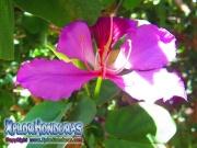 Bauhinia Monandra Flor Casco de Vaca morada