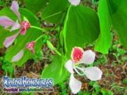 Bauhinia Monandra Flor rosada