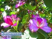 Bauhinia Monandra morada
