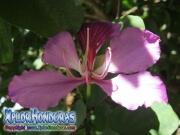 Casco de Vaca morada flor