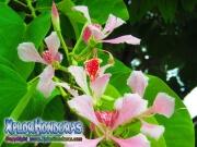 Casco de Vaca rosada flor