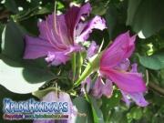 Flor Bauhinia Monandra morada