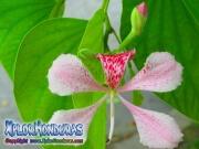 Flor Bauhinia Monandra