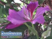 Flor Casco de Vaca morada