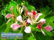 Flor pataa de Vaca