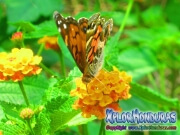 foto butterfly American Painted Lady, mariposa Vanessa virginiensis