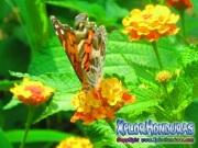 foto honduras, mariposa American Lady, butterfly Vanessa virginiensis