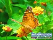 foto honduras, mariposa American Painted Lady, butterfly Vanessa virginiensis