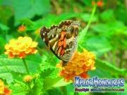 foto mariposa American Lady, butterfly Vanessa virginiensis