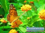 foto mariposa American Painted Lady, butterfly Vanessa virginiensis
