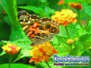 Honduras foto butterfly American Painted Lady, mariposa Vanessa virginiensis