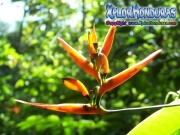 mosquitia flor La Reserva de biosfera de rio platano honduras moskitia