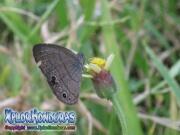 butterfly Carolina Satyr Hermeuptychia sosybius