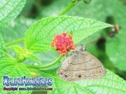 Mariposa Carolina Satyr Hermeuptychia sosybius