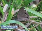 fotos mariposa Carolina Satyr Hermeuptychia sosybius