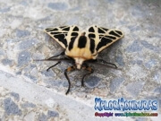 Cymbalophora pudica butterfly