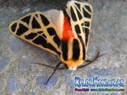 Cymbalophora pudica mariposa macho