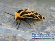 Cymbalophora pudica moth male