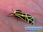 cymbalophora-pudica-moth