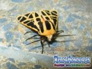 Imagen mariposa nocturna Cymbalophora pudica