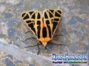 male Cymbalophora pudica moth