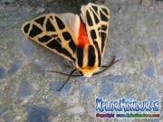 Mariposa nocturna Cymbalophora pudica macho