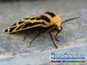 Mariposa nocturna Cymbalophora pudica