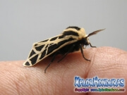 Moth Cymbalophora pudica pictures